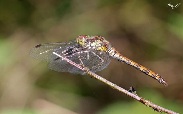 Gemeine-Heidelibelle (Neyetalsperre / NRW)