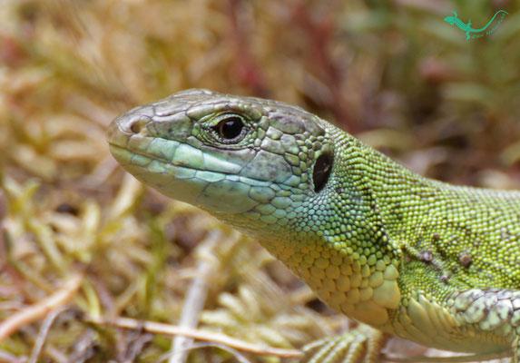 Kopf einer männlichen Smaragdeidechse (unteres Moseltal)