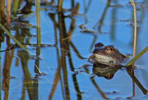 Grasfrosch im Teich (Bergisches Land / NRW)