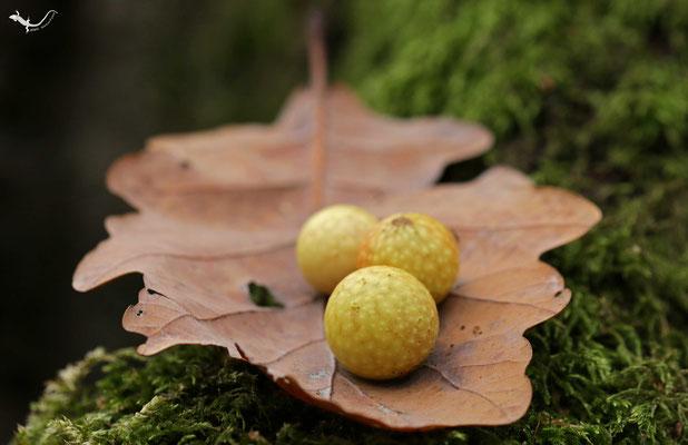 Galläpfel auf Eichenblatt