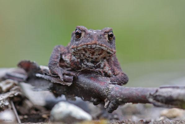 junge Erdkröte (Bufo bufo) (Schweden)