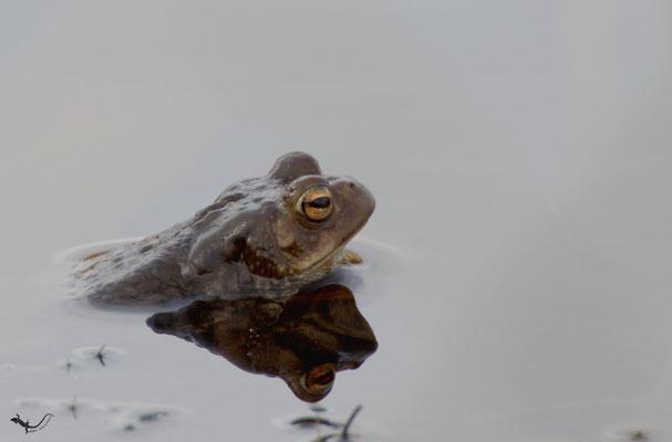 Erdkröte (Bufo Bufo) (Hohes Venn / Eifel)