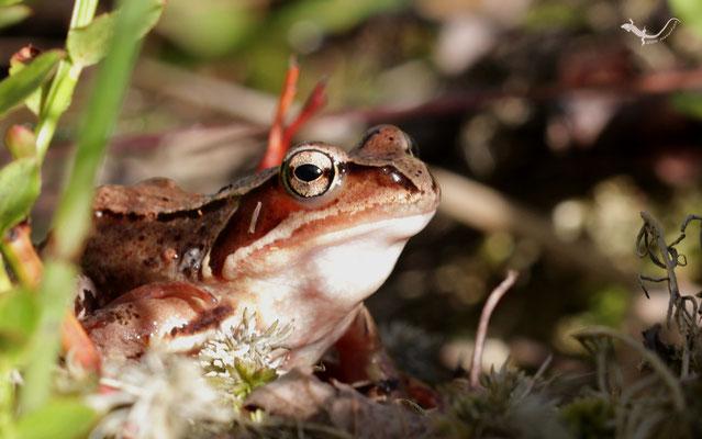 Moorfrosch (Rana arvalis) im abendlichen Sonnenlicht (Schweden)