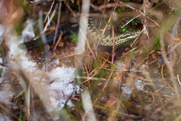 Vipera berus - Males, northern Black Forest
