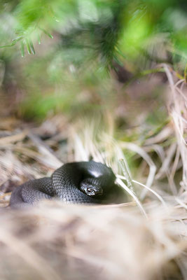 Vipera berus - Male, northern Black Forest