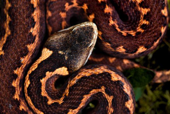 Vipera kaznakovi - Adjara