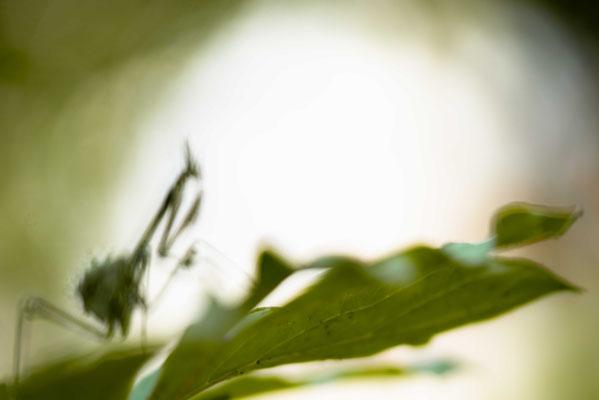 Empusa fasciata - Shida Kartli