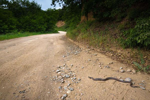 Wounded Vipera ammodytes transcaucasiana  in situ - Mtskheta-Mtianeti