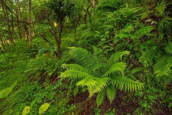 Subtropical Forest - Adjara