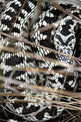 Vipera berus - Male, southern Black Forest