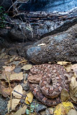 Porthidium ophryomegas - Costa Rica