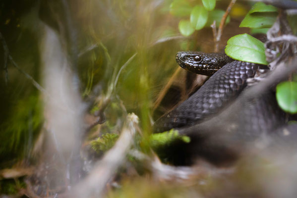 Vipera berus - Female northern Black Forest