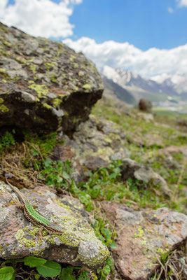 Darevskia caucasica in situ - Mtskheta-Mtianeti