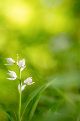 Cephalanthera longifolia - Adjara