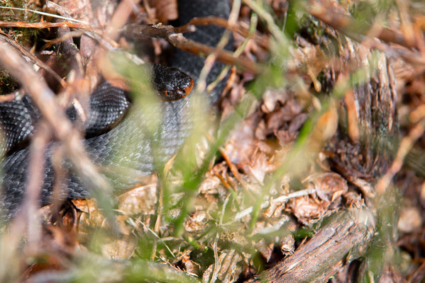 Vipera berus - Female, northern Black Forest