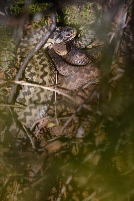 Vipera berus - Male & Juvenile, northern Black Forest