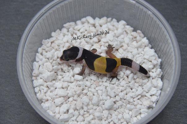 Eublepharis fuscus (inkubiert Männchen/male)