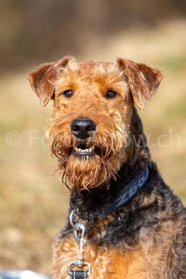 Porträt Irisch Terrier