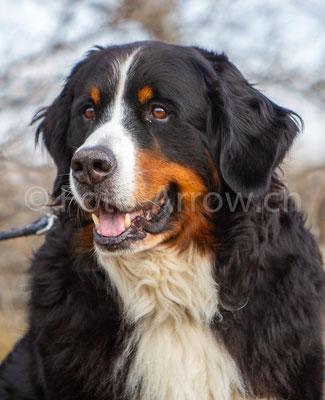 Porträt Berner Sennenhund