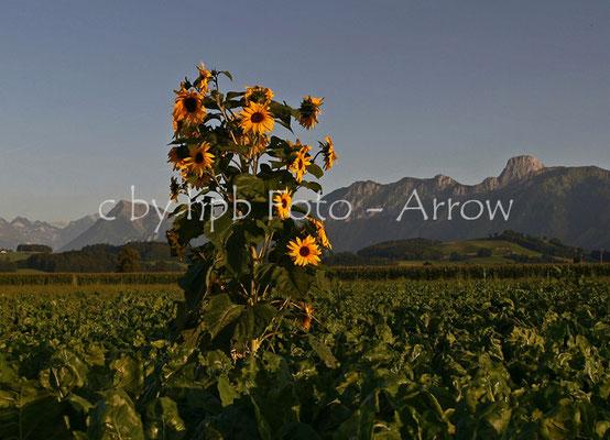 Gürbetal, Sonnenblume in Rübenfeld, im Hintergrund links der Niesen, rechts das Stockhorn