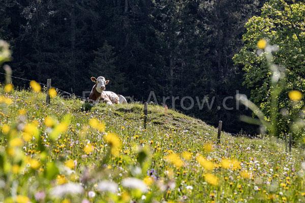 Gasterental Kuh Alp Alm