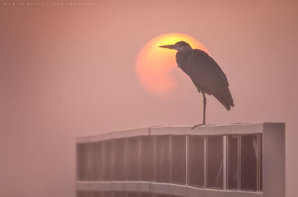 Reiger tijdens zonsopkomst