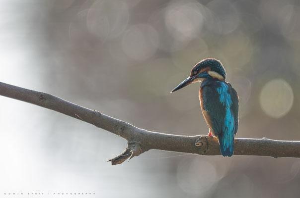 IJsvogel wachtend om een prooi uit het water te vissen