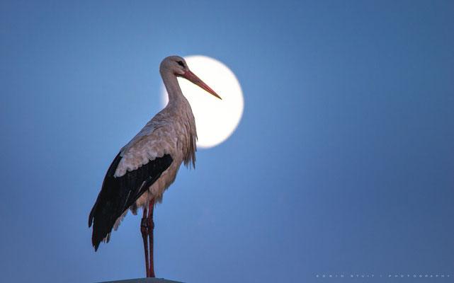 Ooievaar op lantaarnpaal tegen het maanlicht