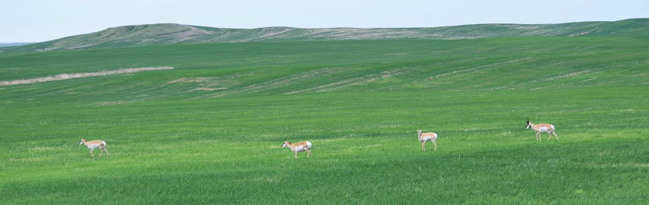 Pronghorns (Gabelböcke)