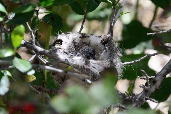 Und winzige Nester - knapp 2 Fingerhüte groß