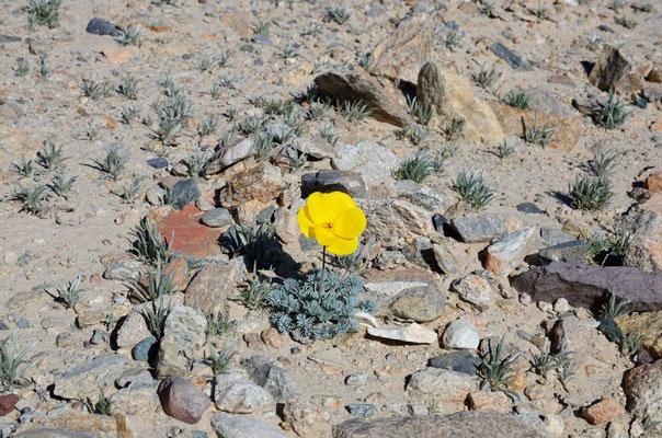 Das 1. und einzige California Poppy