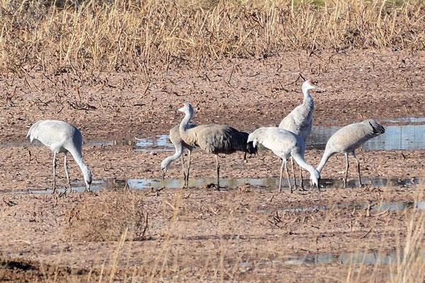 Sandhill Cranes am Whitewater NWR (Naturschutzgebiet)