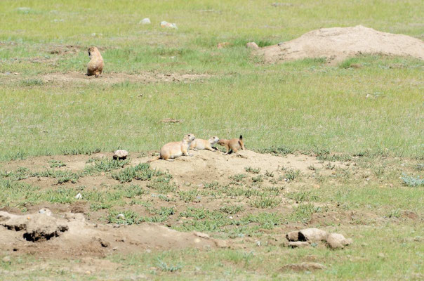 ... in der Prairie-Dog-Town