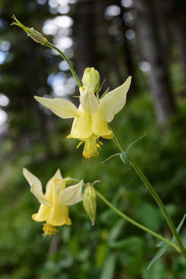 Yellow Columbine (Akelei)