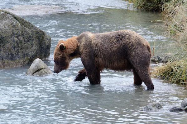 Erst als die alle sind, geht Mama Grizzly selbst auf Fischfang