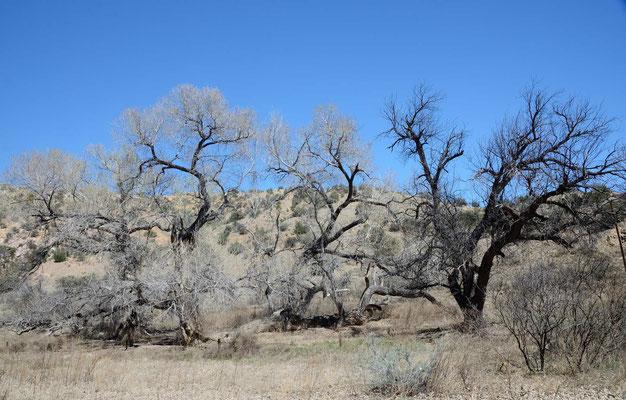 Nix Frühling, die Cottonwoods sind noch völlig kahl.