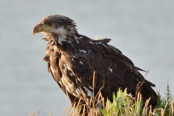 Ein junger Seeadler, er hat noch nicht den charakteristischen weissen Kopf, wie die Erwachsenen