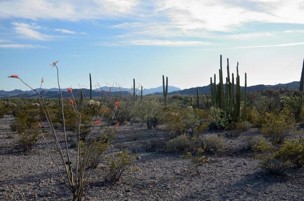 Saguaros und Organ Pipes - leider blüht außer meinem Ocotillo noch nichts