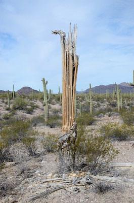 Das bleibt von den Saguaros übrig