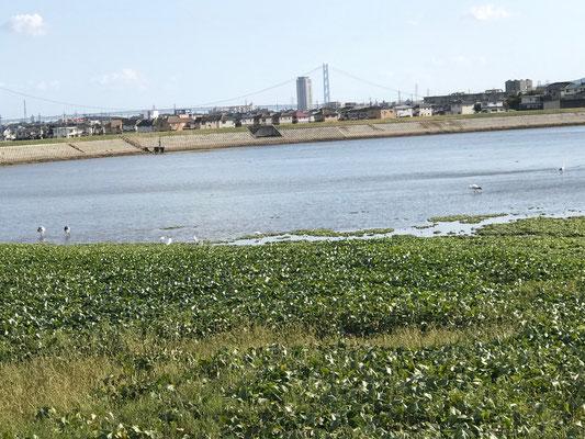 大池に飛来のコウノトリと遠景の明石大橋