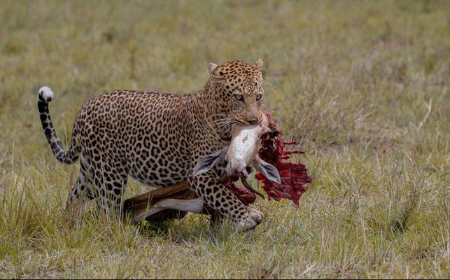 Das Foto des Monats Dezember - Franz Ketter - Wildlife - Leopard mit Beute