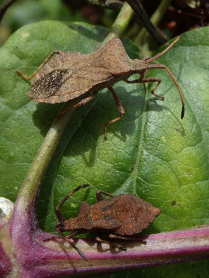 Dock bugs (Coreus marginatus)