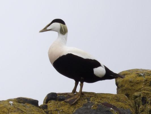 Eider duck (Somateria mollissima ) male