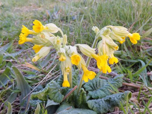 Cowlsip (Primula veris)
