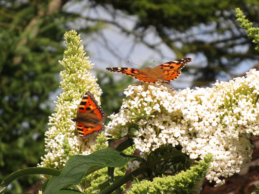 Small tortoiseshell and painted lady butterflies on buddleia