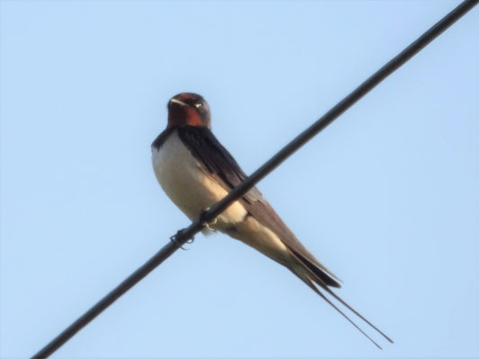 Swallow Hirundo rustica