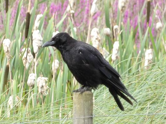 Carrion crows Corvus corone