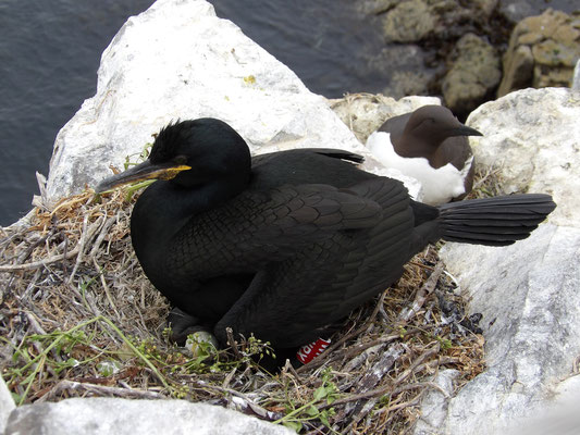 Shag Phalacrocorax aristotelis, sporting a natty leg ring, with a guillemot in the background