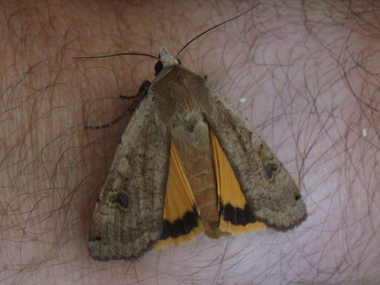 Lesser yellow underwing moth Noctua comes