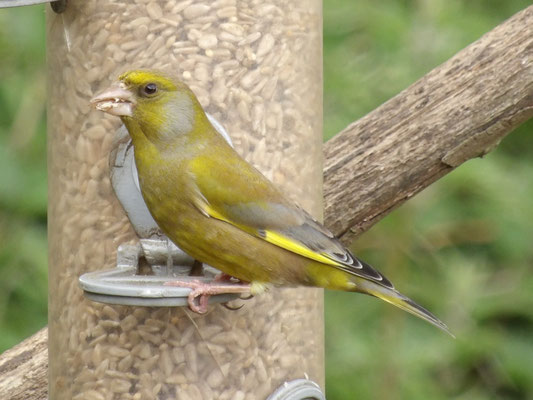 Greenfinch (Chloris chloris)